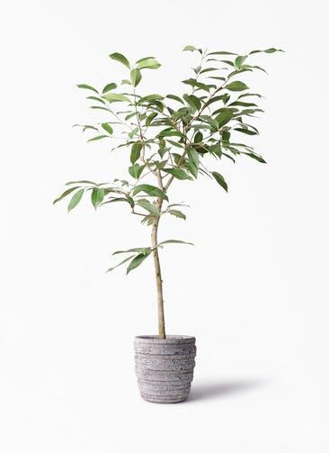 観葉植物 アマゾンオリーブ (ムラサキフトモモ) 8号 凛(りん)ラージS  付き