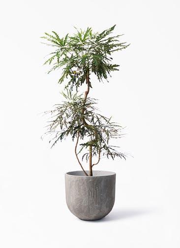 観葉植物 グリーンアラレア 8号 曲り バル ユーポット アンティークセメント 付き