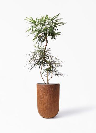 観葉植物 グリーンアラレア 8号 曲り バル トール ラスティ 付き