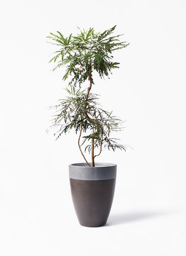 観葉植物 グリーンアラレア 8号 曲り ファイバーストーン カプリ マッドブラウン 付き