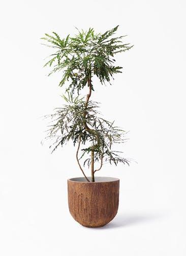 観葉植物 グリーンアラレア 8号 曲り バル ユーポット ラスティ  付き