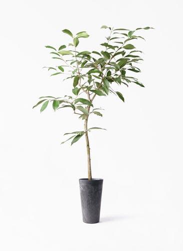 観葉植物 アマゾンオリーブ (ムラサキフトモモ) 8号 アートストーン トールラウンド ブラック 付き