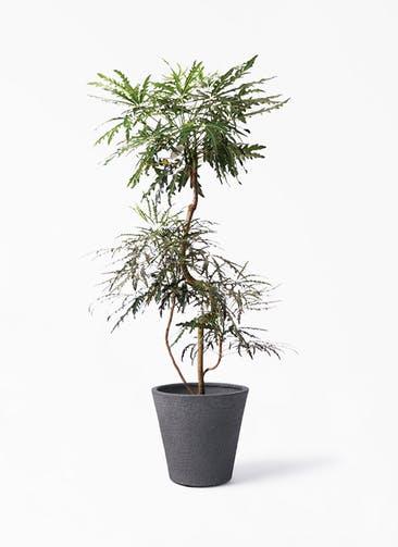 観葉植物 グリーンアラレア 8号 曲り ビアスソリッド ブラック 付き
