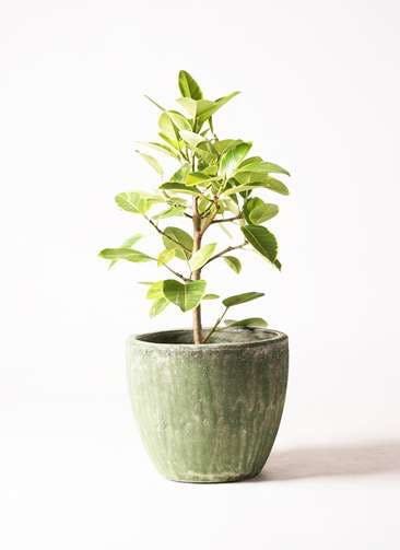観葉植物 フィカス アルテシーマ 7号 ストレート アビスソニア ミドル 緑 付き