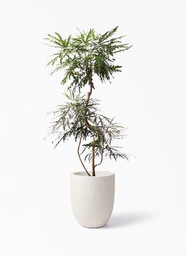 観葉植物 グリーンアラレア 8号 曲り フォリオアルトエッグ クリーム 付き