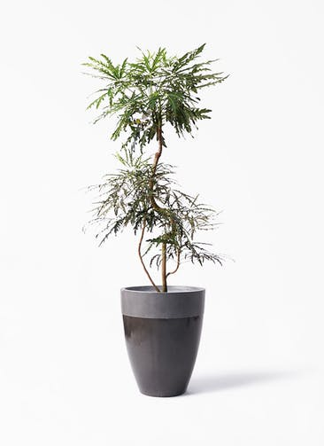 観葉植物 グリーンアラレア 8号 曲り ファイバーストーン カプリ 黒 付き