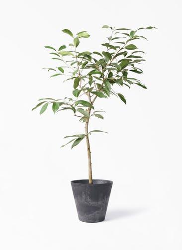 観葉植物 アマゾンオリーブ (ムラサキフトモモ) 8号 アートストーン ラウンド ブラック 付き
