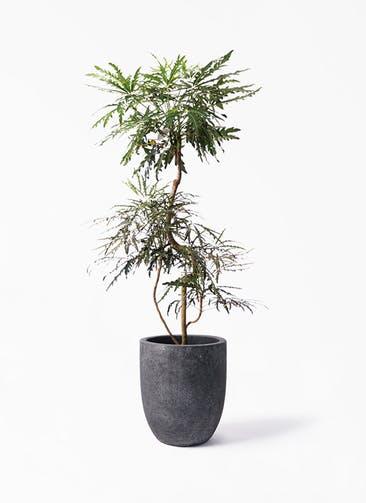観葉植物 グリーンアラレア 8号 曲り フォリオアルトエッグ ブラックウォッシュ 付き