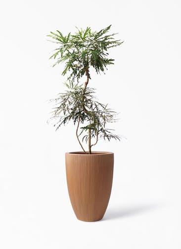 観葉植物 グリーンアラレア 8号 曲り リブラ モノ ラスティ 付き