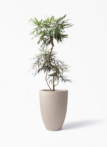 観葉植物 グリーンアラレア 8号 曲り リブラ モノ ベージュ 付き