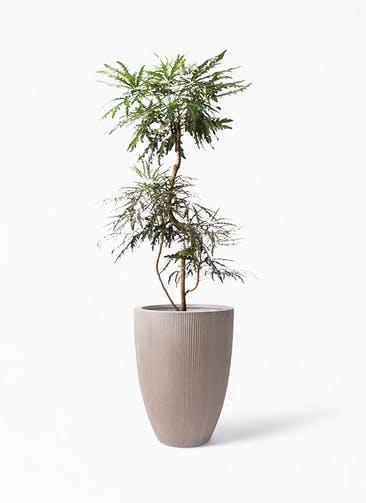 観葉植物 グリーンアラレア 8号 曲り リブラ モノ ブラウン 付き