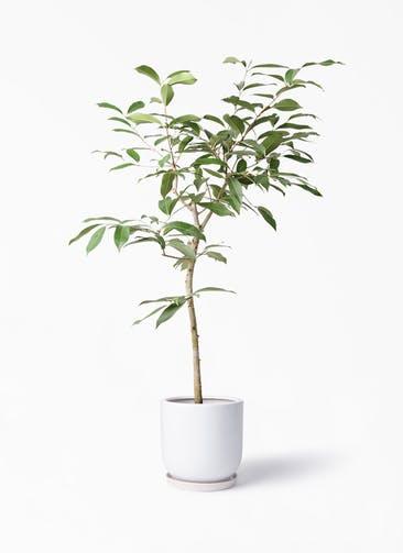 観葉植物 アマゾンオリーブ (ムラサキフトモモ) 8号 アファール 白 付き