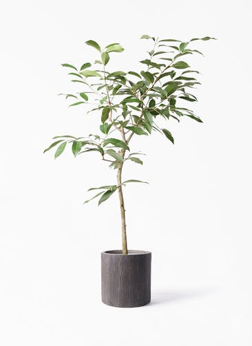 観葉植物 アマゾンオリーブ (ムラサキフトモモ) 8号 アルファ シリンダープランター ウッド 付き