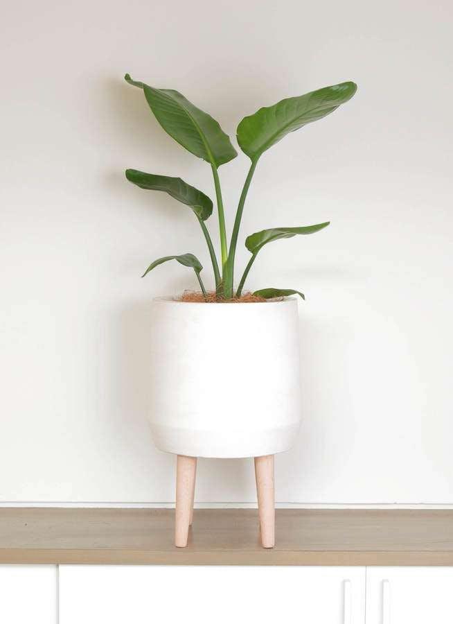 観葉植物 オーガスタ 6号 ファイバークレイ white 付き