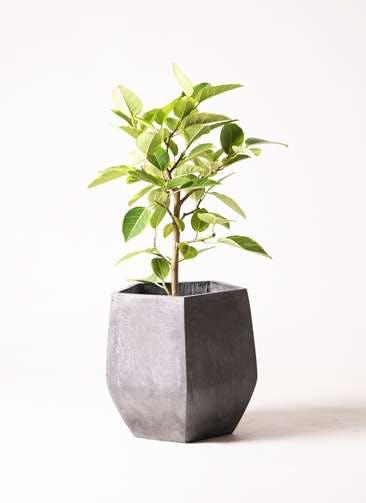 観葉植物 フィカス アルテシーマ 7号 ストレート ファイバークレイGray 付き