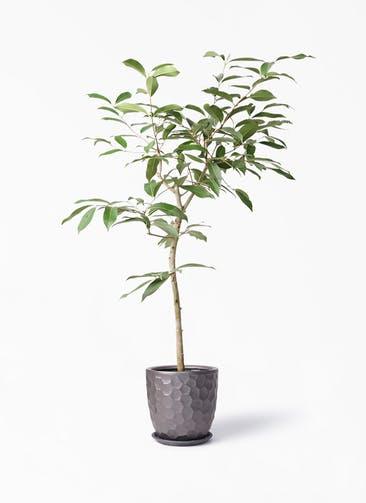 観葉植物 アマゾンオリーブ (ムラサキフトモモ) 8号 サンタクルストール ブロンズ 付き