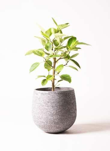 観葉植物 フィカス アルテシーマ 7号 ストレート エコストーンGray 付き