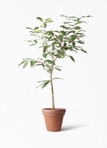 観葉植物 アマゾンオリーブ (ムラサキフトモモ) 8号 トスカーナ リムポット 付き