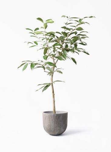 観葉植物 アマゾンオリーブ (ムラサキフトモモ) 8号 バル ユーポット アンティークセメント 付き