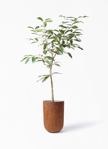観葉植物 アマゾンオリーブ (ムラサキフトモモ) 8号 バル トール ラスティ 付き