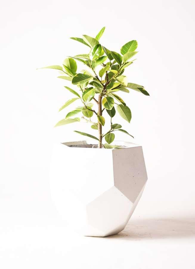 観葉植物 フィカス アルテシーマ 7号 ストレート ポリゴ ヘクサ 白 付き