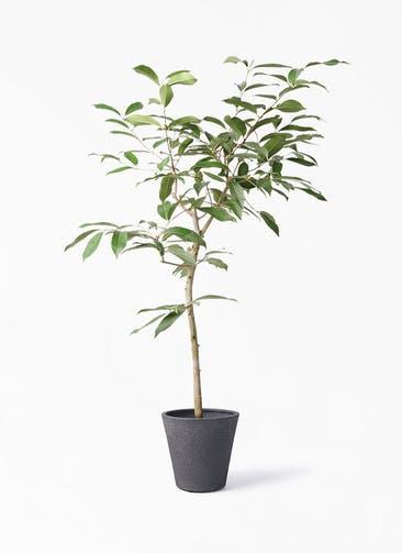 観葉植物 アマゾンオリーブ (ムラサキフトモモ) 8号 ビアスソリッド ブラック 付き