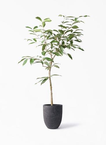 観葉植物 アマゾンオリーブ (ムラサキフトモモ) 8号 ビアスアルトエッグ ブラック 付き