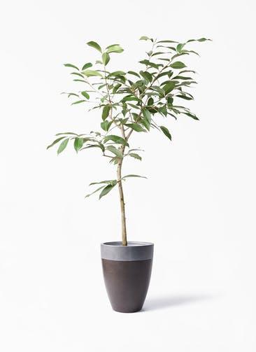 観葉植物 アマゾンオリーブ (ムラサキフトモモ) 8号 ファイバーストーン カプリ マッドブラウン 付き