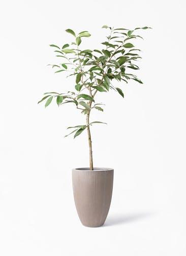 観葉植物 アマゾンオリーブ (ムラサキフトモモ) 8号 リブラ モノ ブラウン 付き