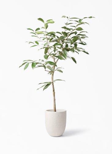 観葉植物 アマゾンオリーブ (ムラサキフトモモ) 8号 フォリオアルトエッグ クリーム 付き