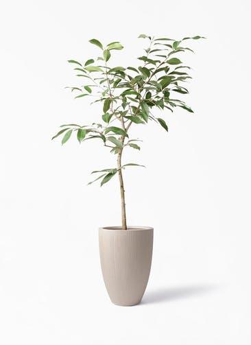観葉植物 アマゾンオリーブ (ムラサキフトモモ) 8号 リブラ モノ ベージュ 付き