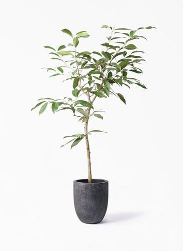 観葉植物 アマゾンオリーブ (ムラサキフトモモ) 8号 フォリオアルトエッグ ブラックウォッシュ 付き