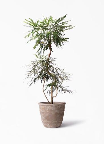 観葉植物 グリーンアラレア 8号 曲り テラアストラ シリウス 付き