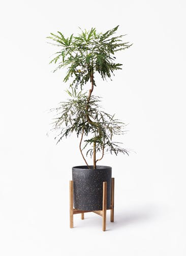 観葉植物 グリーンアラレア 8号 曲り ホルスト シリンダー スパークルブラック ウッドポットスタンド 付き