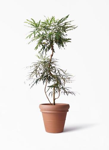 観葉植物 グリーンアラレア 8号 曲り トスカーナ リムポット 付き