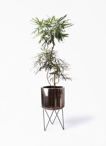 観葉植物 グリーンアラレア 8号 曲り ビトロ エンデカ ゴールド アイアンポットスタンド ブラック  付き