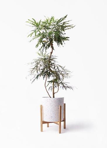 観葉植物 グリーンアラレア 8号 曲り ホルスト シリンダー スパークルホワイト ウッドポットスタンド 付き