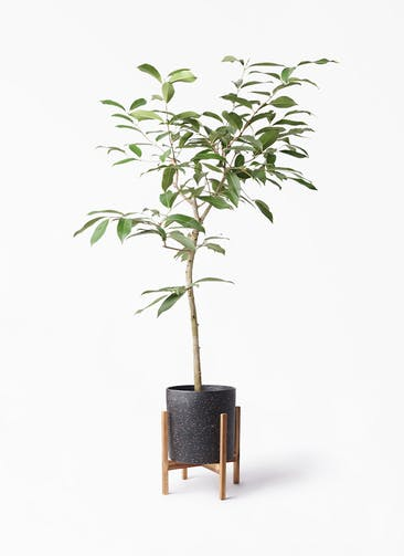 観葉植物 アマゾンオリーブ (ムラサキフトモモ) 8号 ホルスト シリンダー スパークルブラック ウッドポットスタンド 付き