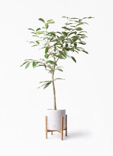 観葉植物 アマゾンオリーブ (ムラサキフトモモ) 8号 ホルスト シリンダー スパークルホワイト ウッドポットスタンド 付き