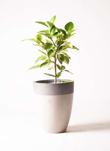 観葉植物 フィカス アルテシーマ 7号 ストレート ファイバーストーン カプリ サンディホワイト 付き