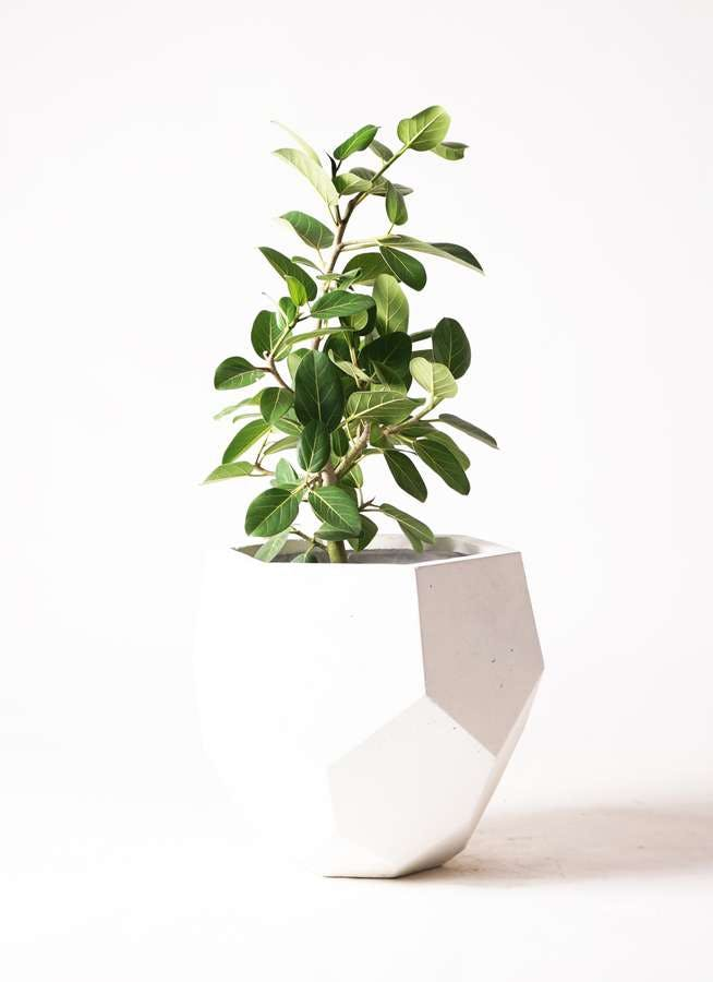 観葉植物 フィカス ベンガレンシス 7号 ストレート ポリゴ ヘクサ 白 付き