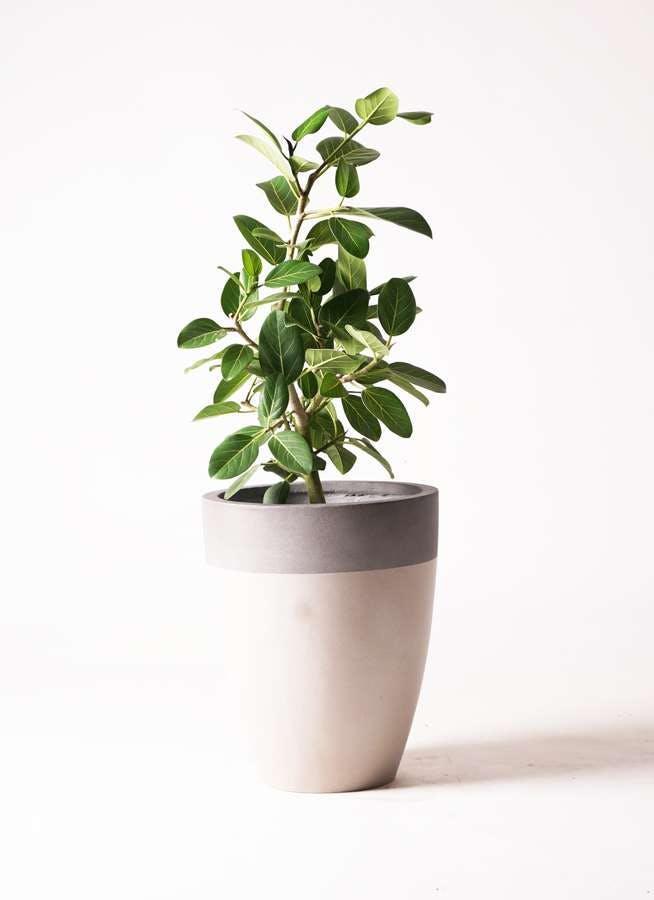 観葉植物 フィカス ベンガレンシス 7号 ストレート ファイバーストーン カプリ サンディホワイト 付き