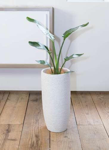 観葉植物 オーガスタ 6号 エコストーントールタイプ white 付き
