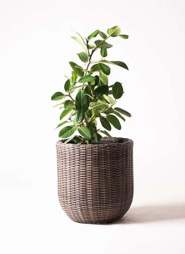 観葉植物 フィカス ベンガレンシス 7号 ストレート ウィッカーポット エッグ NT 茶 付き