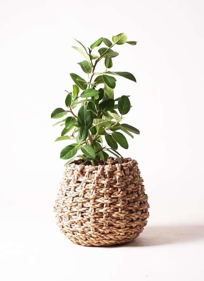 観葉植物 フィカス ベンガレンシス 7号 ストレート ラッシュバスケット Natural 付き