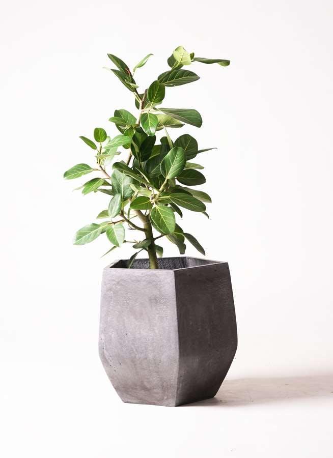 観葉植物 フィカス ベンガレンシス 7号 ストレート ファイバークレイGray 付き