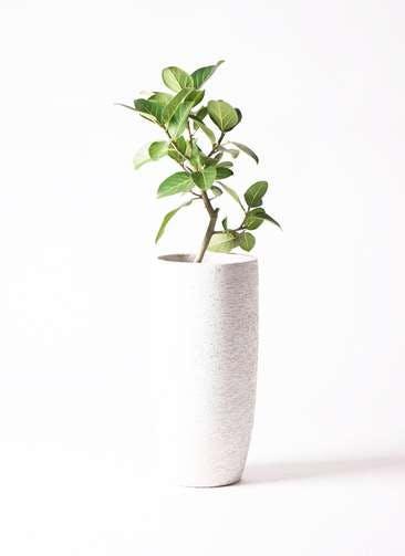 観葉植物 フィカス ベンガレンシス 6号 ストレート エコストーントールタイプ white 付き