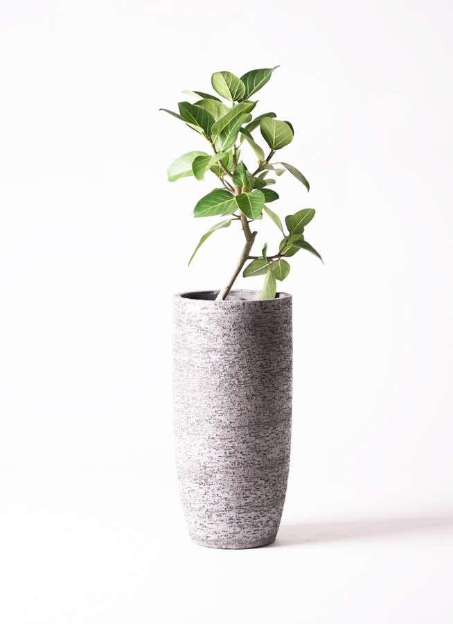 観葉植物 フィカス ベンガレンシス 6号 ストレート エコストーントールタイプ Gray 付き