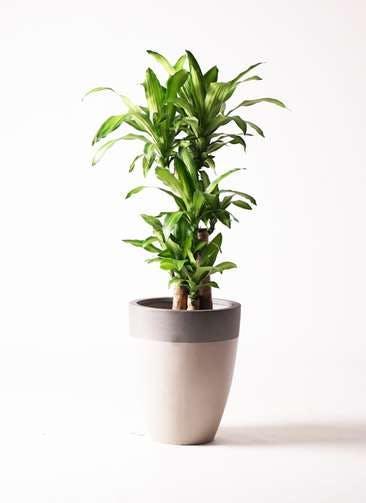 観葉植物 ドラセナ 幸福の木 8号 ノーマル ファイバーストーン カプリ サンディホワイト 付き