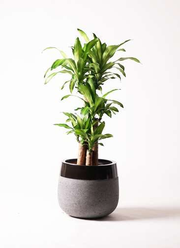 観葉植物 ドラセナ 幸福の木 8号 ノーマル ファイバーストーン タウルス ミドル 黒 付き